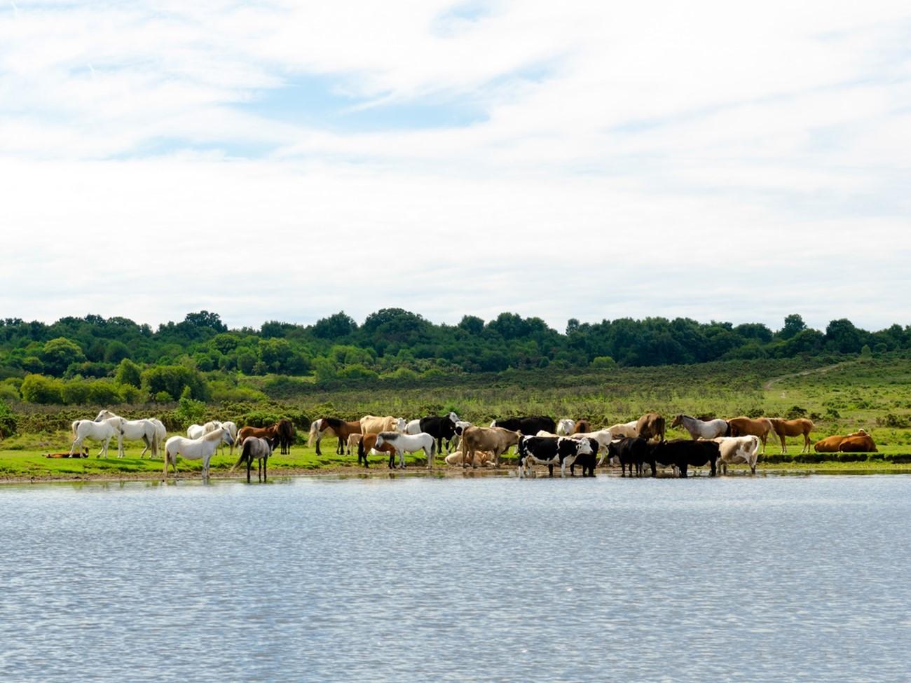 iStock-519434364 - horses, cows.jpg